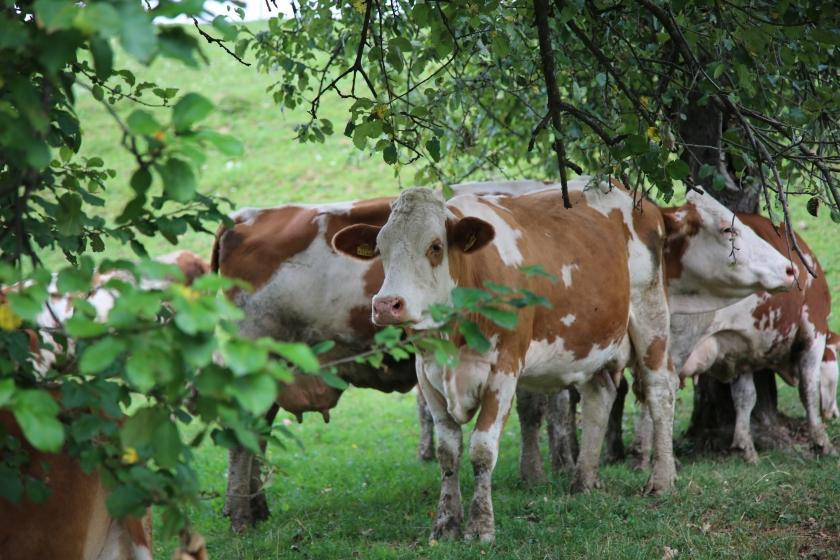 Weidende Kühe unter Apfelbaum