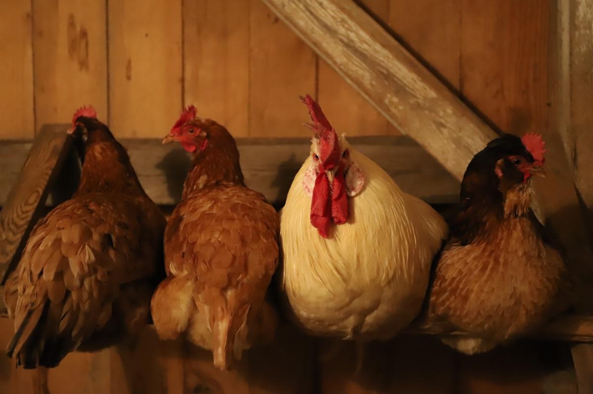 Eine Anleitung zur Hobbyhühnerhaltung