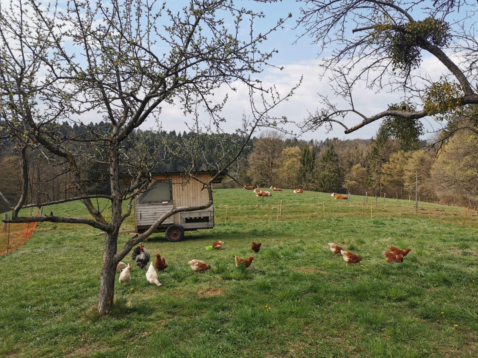Hühner und Kalbinnen auf der Weide