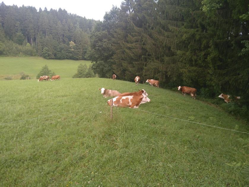 Kühe grasen außerhalb des Zauns